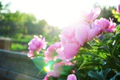 Pink peony flowers at sundown Royalty Free Stock Image