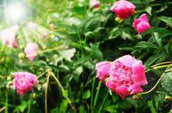 Pink peony flowers in sunlight Royalty Free Stock Photos