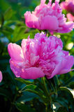 Pink peony flowers Stock Photo