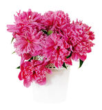 Pink peony flowers in white vase Stock Photography
