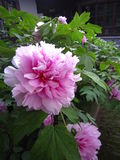 A pink peony in full bloom Stock Photo