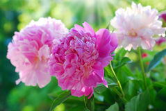 Pink peony in the garden Royalty Free Stock Photos