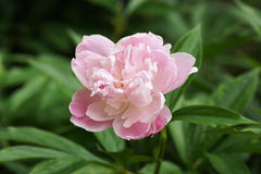 Pink peony in the garden. Royalty Free Stock Images