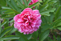 Pink peony in a garden Stock Images