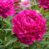 Pink peony in the garden. Royalty Free Stock Image