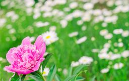 Pink peony in the garden stock images