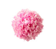 Pink peony head Stock Image