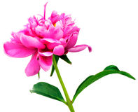 Pink peony isolated on white Royalty Free Stock Image