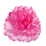 Pink peony isolated Royalty Free Stock Photo