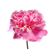 Pink peony Royalty Free Stock Photography