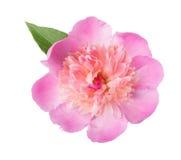 Pink peony. Isolated on white background Stock Image