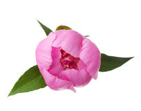 Pink peony isolated on white. Royalty Free Stock Photography