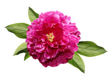 Pink peony with leaves Royalty Free Stock Photos