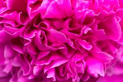 Pink peony,Flower texture. stock photography