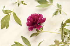 Pink peony on marble Royalty Free Stock Photography