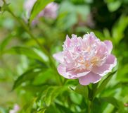 Pink peony. Royalty Free Stock Photo