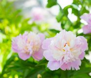 Pink peony. Royalty Free Stock Photos