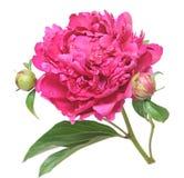 Pink peony (Paeonia lactiflora) Stock Photography