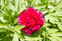 Pink Peony (Paeonia officinalis) on a beautiful spring in a garden Stock Photos
