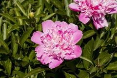 Pink peony. Royalty Free Stock Image