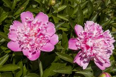 Pink peony. Royalty Free Stock Images