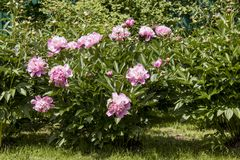 Pink peony. Stock Photo
