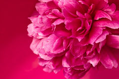 Pink peony. Royalty Free Stock Photography
