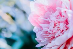 Free Pink Peony Petals Royalty Free Stock Image - 183571436