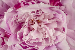 Pink Peony Petals Background Royalty Free Stock Photography