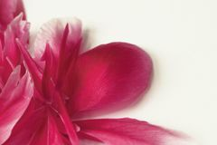 Pink peony petals in the corner Stock Images