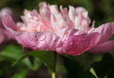 Pink peony after rain Stock Photography