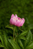 Pink peony at rainy day Stock Image