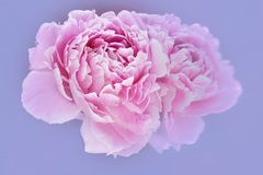 Pink peony and reflection on pale blue background Royalty Free Stock Image