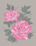 Pink peony rose flower on grey background illustration Stock Image