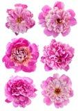 Pink peony set Royalty Free Stock Image