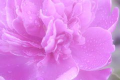 Ckose Up or a Pink Peony With Soft Rain Drops. Close up of a Royalty Free Stock Photo