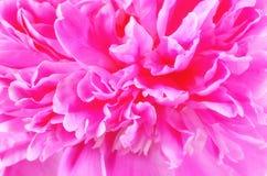 Pink peony, soft focus Stock Photos
