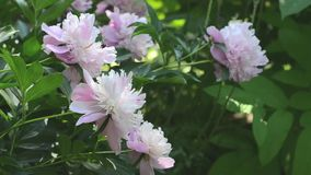 Pink peony `Sorbet` stock video footage