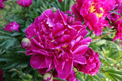 Pink Peony in Spring. Bright pink peony blossoms brighten the spring garden royalty free stock images