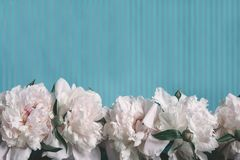 Background in pastel colors. Pink peony on a striped blue background. Spring mood. Abstract background in vintage style. Pink peony on a striped blue background stock image