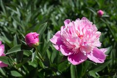 Pink peony in the sun. Bush with peonies of different maturity Stock Photos
