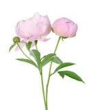 Pink peony tree Royalty Free Stock Photo