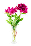 Pink peony in vase. On white background royalty free stock photo