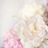 Pink peony vintage background Stock Image