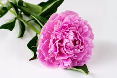 Pink peony in water drops Royalty Free Stock Image