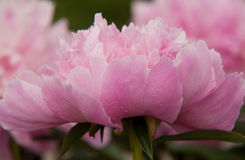 Pink peony. With water drops Stock Photos