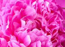 Pink peony with waterdrops close up Stock Photography