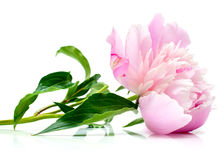 Pink peony on white Stock Images