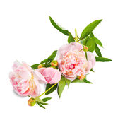 The pink peony on white background. Royalty Free Stock Image