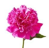 Pink peony Stock Photo
